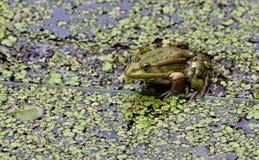 一只池蛙的画象在象草的池塘背景的  库存图片