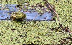 一只池蛙的画象在象草的池塘背景的  免版税库存图片