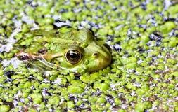 一只池蛙的画象在象草的池塘背景的  免版税库存照片