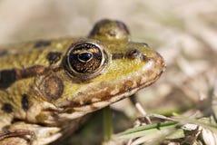 一只池蛙的眼睛 免版税库存照片