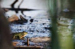 一只池蛙的超级portret在晚上光的 免版税库存图片