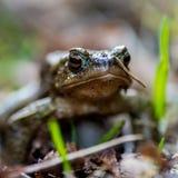 一只池蛙的青蛙透视 库存照片