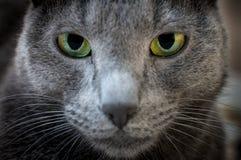 一只沉思猫的画象 免版税库存照片