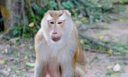 一只沉思猴子的画象 库存图片