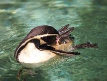 一只沐浴的企鹅 免版税库存图片