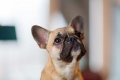 一只法国牛头犬小狗的画象 免版税库存图片