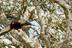 一只法西斯主义的老鹰的飞行坐在M大草原的一棵树  库存照片