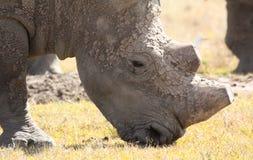 一只泥泞的白犀牛的特写镜头画象 免版税库存图片