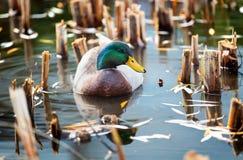一只注意公野鸭鸭子在水中 免版税库存照片