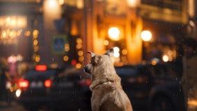 一只流浪狗在城市 在街道上的夜 免版税库存照片