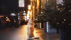 一只流浪狗在城市 在街道上的夜 库存图片