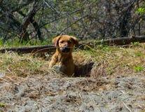 一只流浪狗的小狗在一个孔旁边的在一个狂放的公园 免版税库存照片