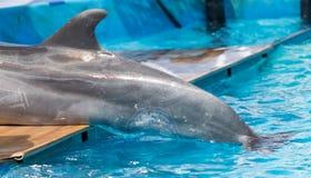 一只海豚的尾巴在水池的 免版税库存图片