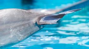 一只海豚的尾巴在水池的 免版税库存照片