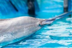 一只海豚的尾巴在水池的 图库摄影