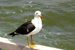 一只海鸟的特写镜头在栏杆的 库存照片