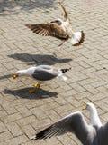 一只海鸥从peolple得到了一些食物 两只海鸥还飞行到它并且也是想要食物 在海边的街道上的树海鸥 免版税图库摄影
