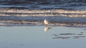一只海鸥在波儿地克的海边放松并且搜寻 影视素材