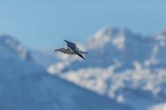 一只海鸥在飞行中与多雪的山和蓝天 免版税图库摄影