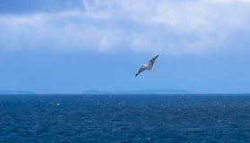 一只海鸥在飞行中在Motopohue储备 免版税图库摄影