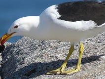 一只海鸥用淡菜 库存照片