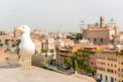 一只海鸥的特写镜头与中央罗马的作为背景,意大利 库存照片