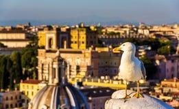 一只海鸥的特写镜头与罗马市中心的作为背景 库存图片