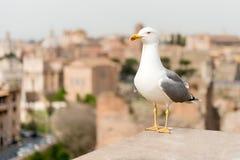 一只海鸥的特写镜头与罗马市中心的作为背景 库存照片