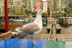 一只海鸥的特写镜头在不列颠哥伦比亚省 库存图片
