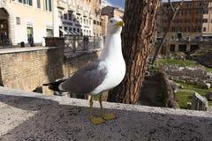 一只海鸥的画象与古老罗马废墟的 免版税库存照片