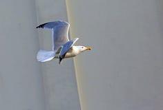 一只海鸥的飞行在天空的 库存图片