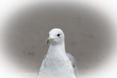 一只海鸥的画象与一双黑眼睛的 在眼睛的锋利 免版税库存图片
