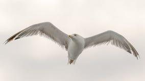 一只海鸥的画象与翼大开飞行的在天空 一个美好的姿势 库存图片