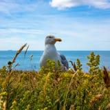 一只海鸥 免版税库存图片