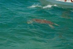 一只海龟的布朗龟甲在生物圈的 库存照片