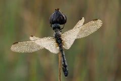 一只淡光的飞过的蜻蜓 库存图片