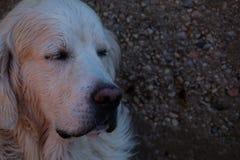 一只湿金毛猎犬 库存照片