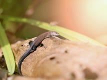 一只滑稽的小的蜥蜴的照片 免版税库存图片