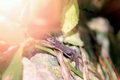 一只滑稽的小的蜥蜴的照片 库存图片