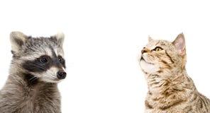 一只滑稽的浣熊和好奇猫的画象 库存图片