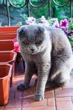 一只滑稽的猫,苏格兰折叠品种,坐阳台在花箱子附近,并且不允许女主人种植喇叭花 免版税库存照片