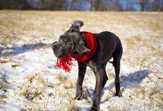 一只滑稽的矮小的丹麦种大狗小狗摇她的头并且穿一条红色围巾 库存照片
