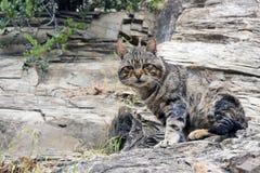 一只滑稽的镶边棕色离群猫坐同一种颜色的岩石 掩没动物 图库摄影