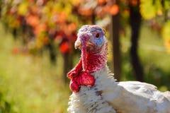 一只火鸡的五颜六色的特写镜头在葡萄园里 库存图片