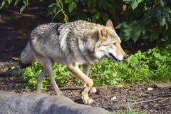 一只灰狼沿岩石走并且看 库存照片