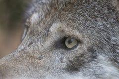 一只灰狼的眼睛的特写镜头 免版税库存照片