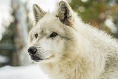 一只灰狼的画象 免版税图库摄影