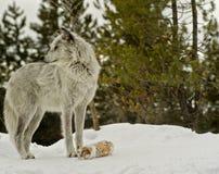 一只灰狼的画象 免版税库存图片
