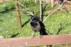 一只灰色乌鸦坐长凳 图库摄影