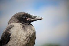 一只灰色乌鸦的画象 免版税库存照片